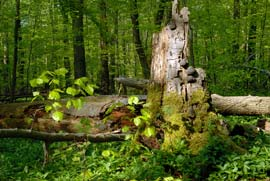 Buchenurwald im Nationalpark Hainich